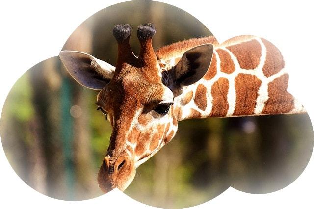 Почему приснился жираф — толкуем по разным и популярным сонникам