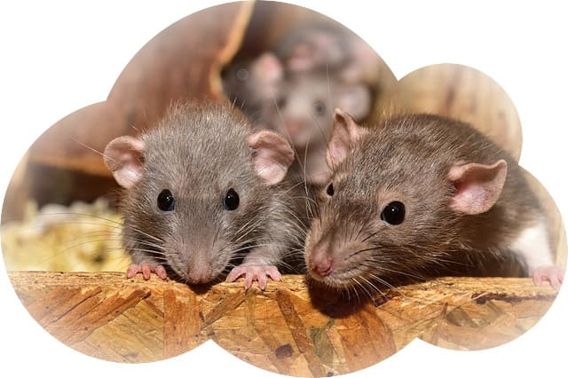 Сонник если снится крысы и крысята